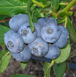 Патриот является одним из самых любимых сортов многих садоводов