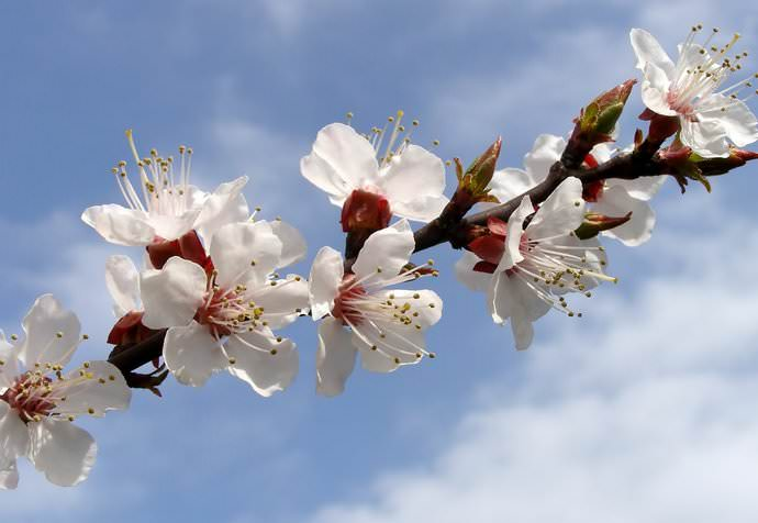 Цветение колоновидных абрикосов приходится на весенние месяцы — март и апрель