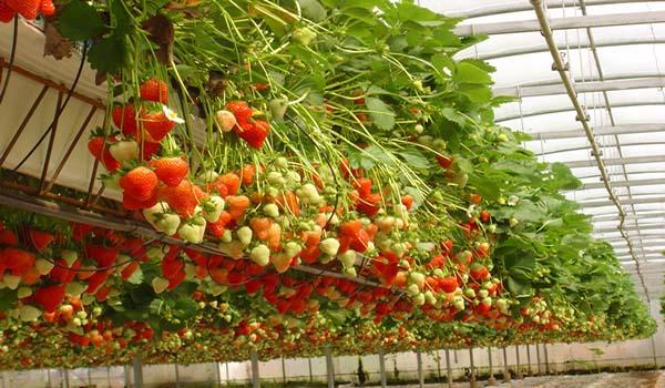 Длительность плодоношения ампельной земляники — 3-4 года, после она теряет свои свойства