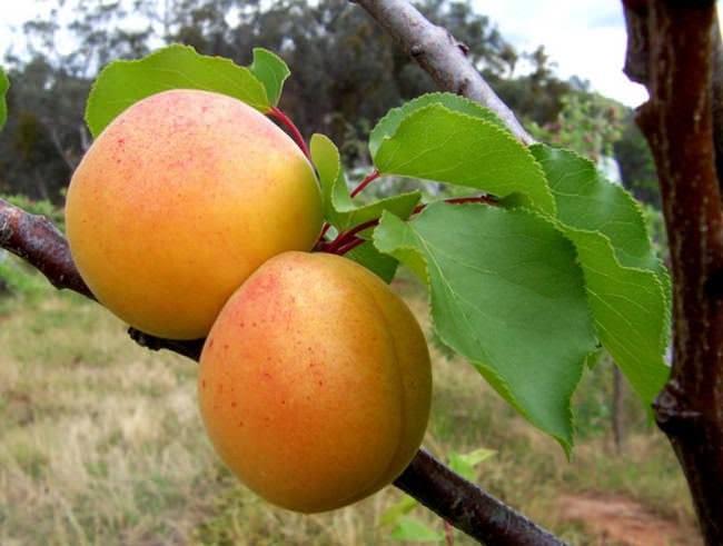 Сорт абрикоса Сирена − позднего срока созревания