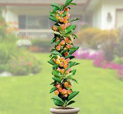 Колоновидные абрикосовые деревья полюбились многим садоводам