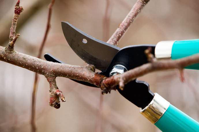 Перед тем как утеплять абрикос, следует в обязательном порядке провести санитарную обрезку