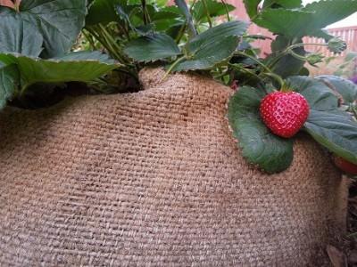 Абрикос «Ананасный цюрупинский» менее востребован в условиях приусадебного садоводства