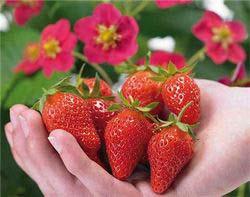 Земляника «Тоскана» пользуется заслуженным вниманием садоводов