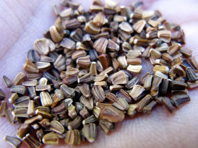 Семена хризантем можно сажать в грунт или рассадным способом