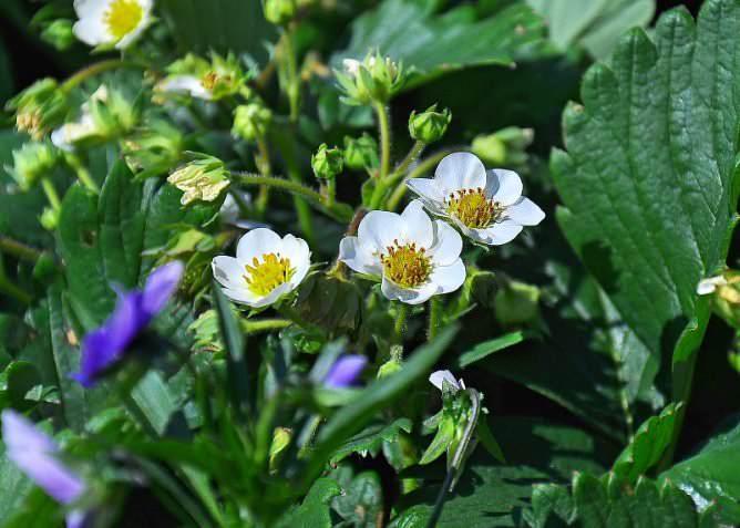 Сорт «Дарселект» может выращиваться как на открытых грядах, так и в условиях защищенного грунта с использованием питательных субстратов