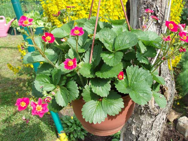 Высаживать ампельную землянику в переносные емкости очень удобно, поскольку это позволит не только получить вкусное лакомство, но и украсить интерьер сада