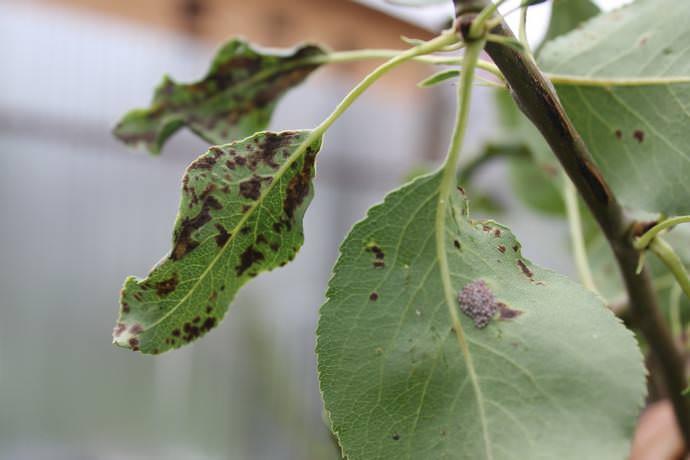 Листья груши «Кокинская» имеют недостаточную устойчивость к поражению паршой