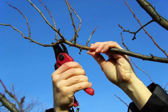 Для профилактики абрикоса «Сардоникс» производится обрезка засохших ветвей