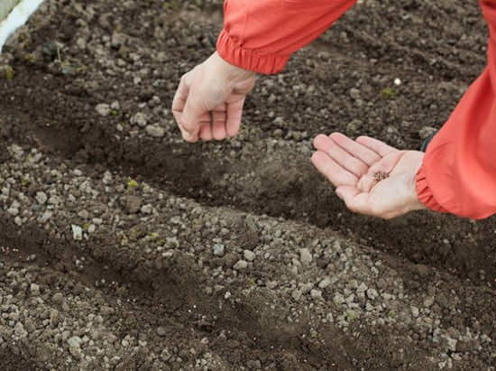 Под посев и выращивание редиса сорта Сора рекомендуется отводить участок, который максимально рано освобождается от снега
