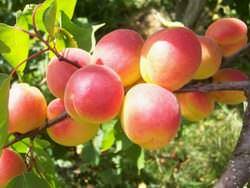 В последние годы абрикосы все чаще выращиваются в Подмосковье