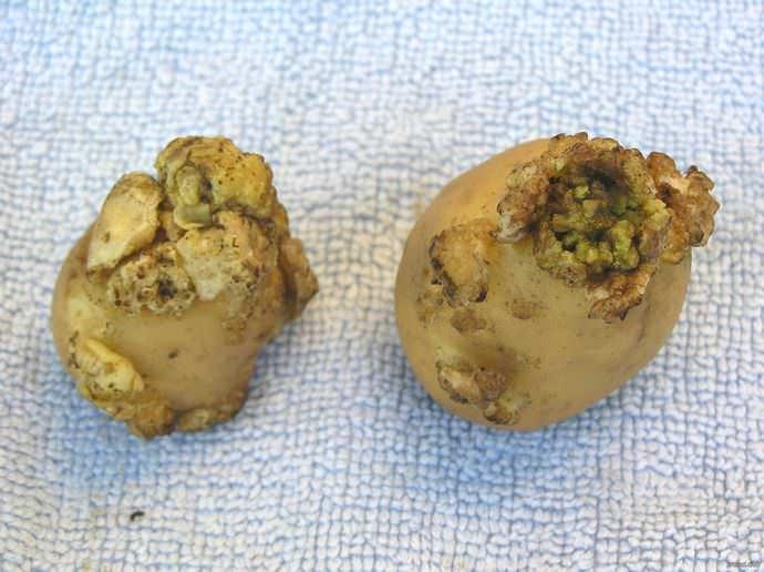 Рак поражает преимущественно картофельные клубни