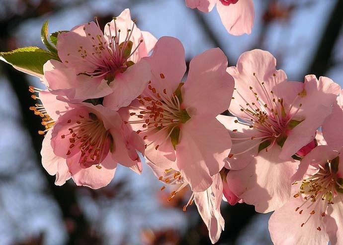 Цветки сорта «Манитоба» привлекательные, очень крупных размеров, розового цвета, что придает сорту высокую декоративность на стадии массового цветения