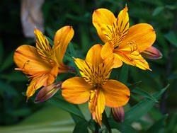 Цветок аустерия фото