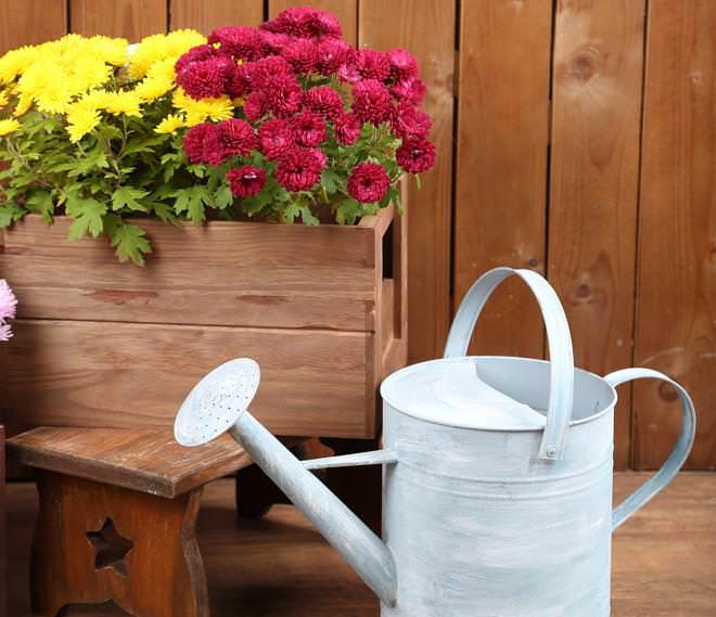 Поливать хризантемы нужно только под корень