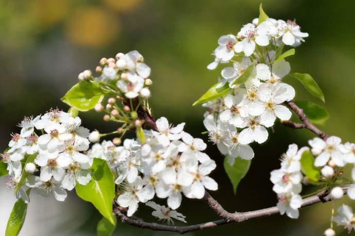 Деревья груши сорта «Тихий Дон» относительно слабой силы роста