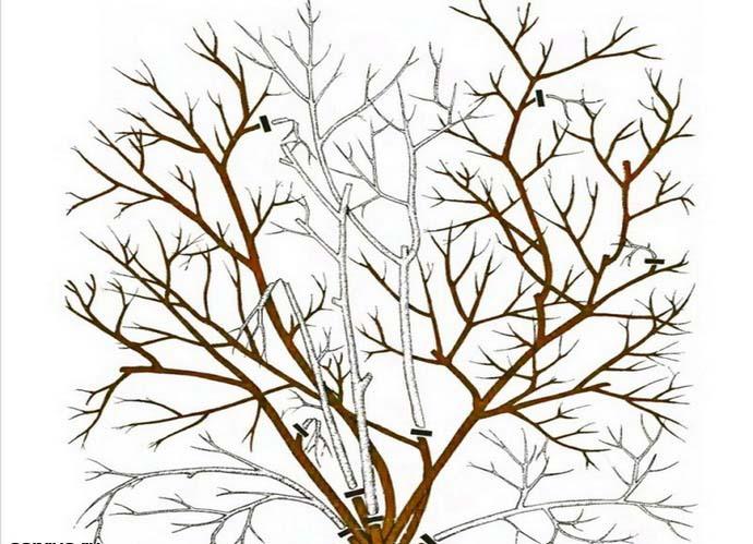 Основная обрезка голубики высокорослых сортов сводится к тому, чтобы удалить поврежденные или устаревшие веточки и слепой прирост