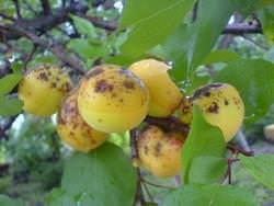 Монилиоз абрикоса является весьма распространенным грибковым заболеванием