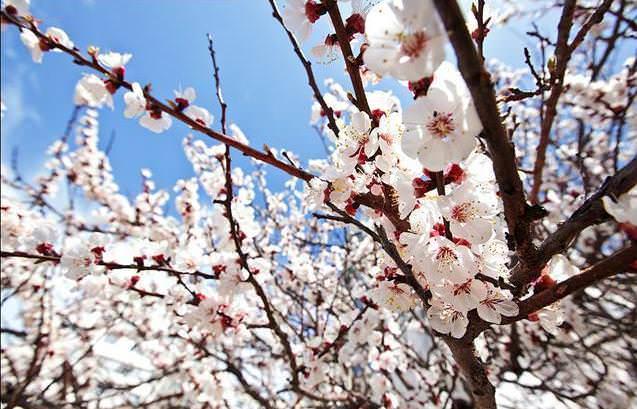 Плодоносить абрикос сорта «Россиянин» начинает в середине июля