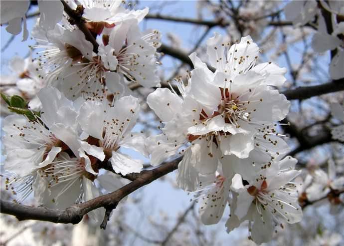 Вызревание плодов абрикоса «Царский» в районах с мягким и теплым климатом раннее, приходится на первую декаду августа