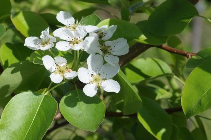 Груша «Чижовская» начинает приносить плоды спустя 3 или 4 года после высадки в грунт