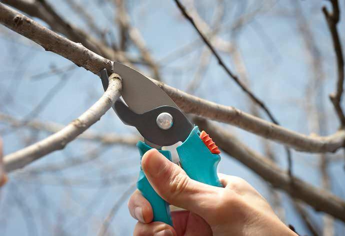 Важно регулярно обрезать ветви растения, иначе их чрезмерное количество негативно повлияет на качество и величину урожая