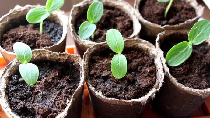 Огурцы «Хрустящая грядка» можно выращивать с применением рассадного способа