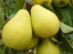 «Чижовская» груша — один из наиболее распространенных сортов