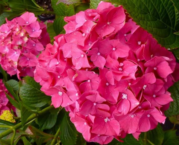 Соцветия гортензии «Красная сенсация» при добавлении в почву квасцов меняют цвет на бордовые или фиолетовые