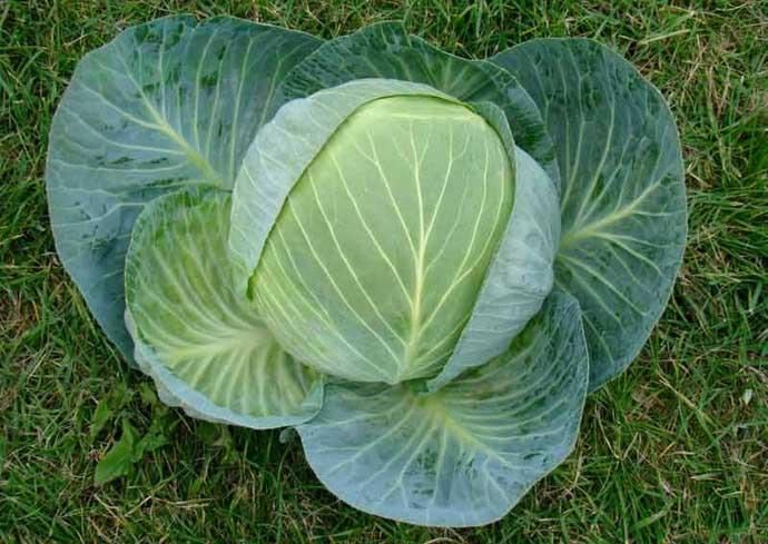 Капуста гибридной формы «Центурион f1» относится к категории популярных и востребованных огородниками сортов