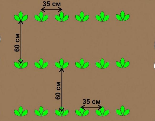 Схема посадки картофеля «Маяк» методом под лопату предполагает расстояние между картофельными рядами примерно в 50-60 см