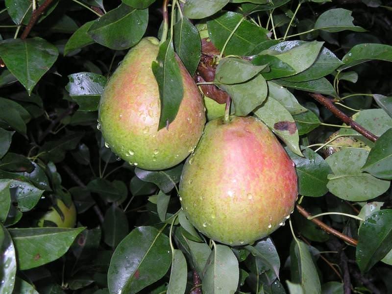 Собирать урожай груши «Тихий Дон» рекомендуется примерно в середине сентября