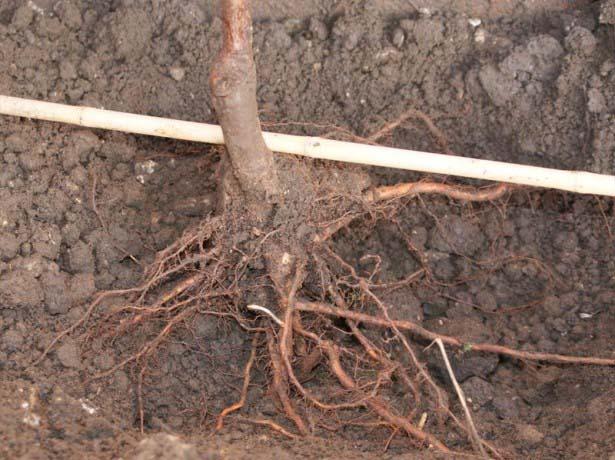Абрикос «Персиковый» высаживается согласно стандартной схеме