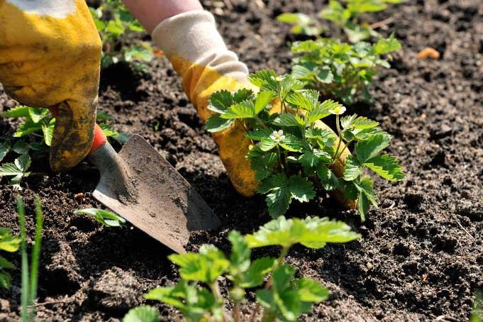 Пересадка клубники садовой в августе