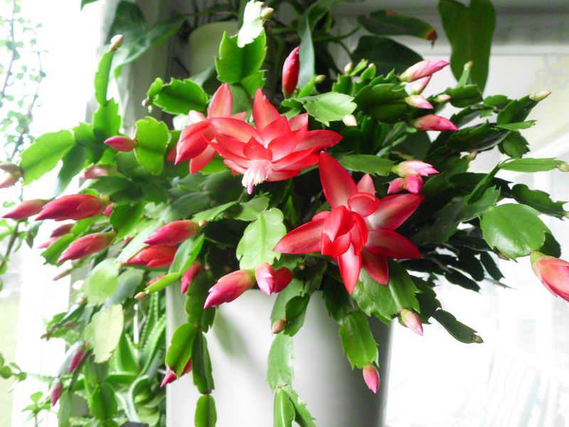 В отличие от других кактусов, шлюмбергера любит влагу