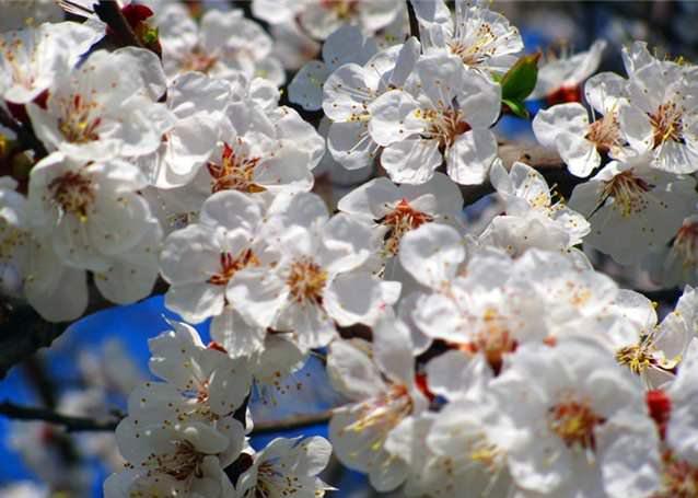 Деревья абрикоса «Персиковый» достаточно рано выходят на стадию активного плодоношения