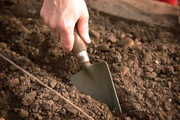 Высевать семена капусты «Центурион f1» рекомендуется в марте