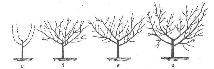 C целью осветления кроны следует проводить обрезку растения, удаляя ветви, растущие внутрь кроны