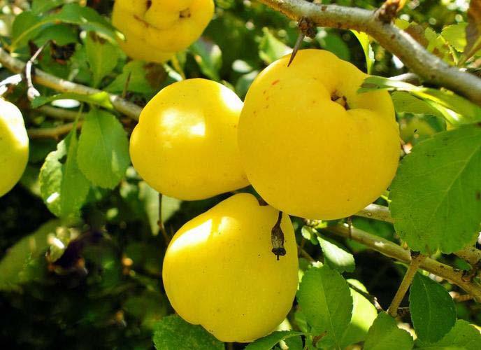 Плоды декоративной айвы вызревают в поздний осенний период