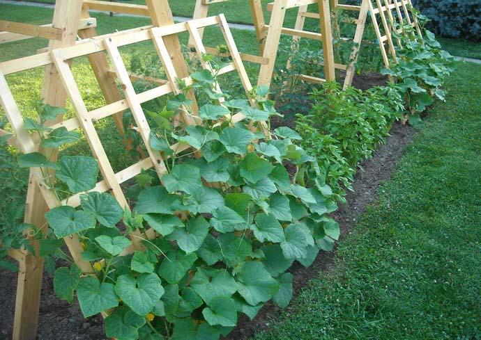 При выращивании сорта «Ухажер f1» рекомендуется использовать шпалерный способ