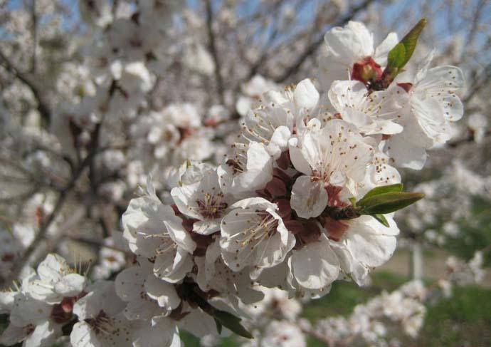 В фазу плодоношения абрикос «Айсберг» чаще всего вступает на четвертый день после проведения прививки