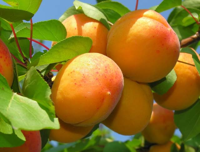 Плоды сорта «Айсберг» вызревают в последней декаде июля или первых числах августа