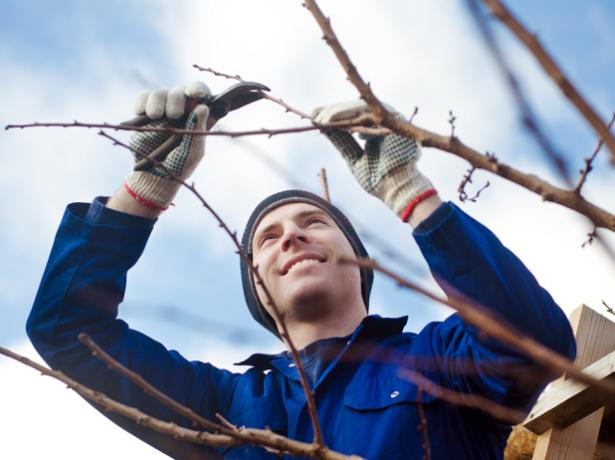 Обрезку абрикоса «Алеша» в весенний период следует осуществлять до стадии активного движения сока или непосредственно после его окончания, но строго до наступления фазы цветения