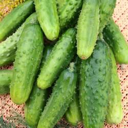 Огурец «Ухажер f1» получил очень высокую оценку овощеводов