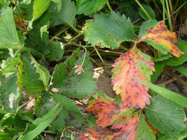 Если листья краснеют в середине лета, то это может быть связано с высокими показателями кислотности грунта