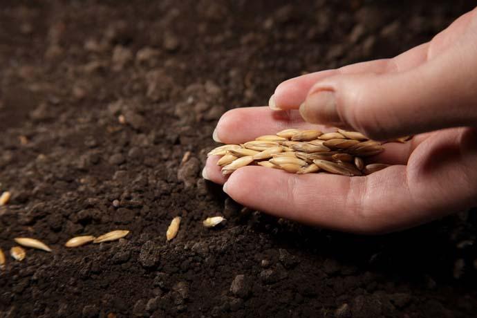 Кабачок под названием «Ролик» можно сеять на гряды под пленочное укрытие или непосредственно в открытый грунт