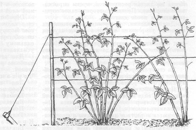 Как правильно выращивать малину с картинками