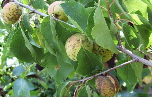 Плодовая серая гниль представляет собой летнюю форму заболевания и поражает плоды на всех стадиях их вызревания