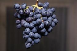 Виноград Фиолетовый ранний — европейско-амурский сорт универсального назначения