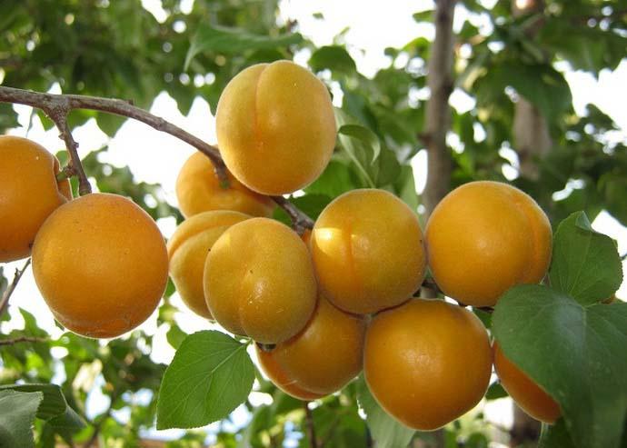 В плодоношение сорт Мелитопольский поздний вступает на четвертый или пятый год после высаживания на постоянное место